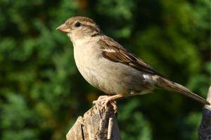 Female_House_Sparrow