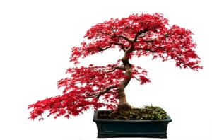 Japanese Bonsai Maple