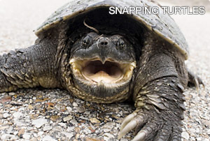 snapping-turtles