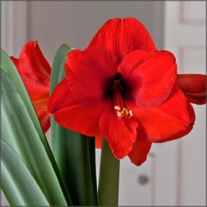 amaryllis_ferrari_red_1