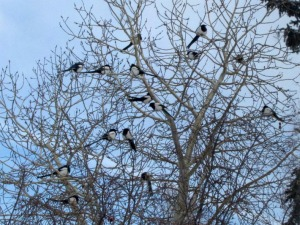 winter magpies