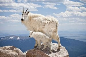 Mountain_Goat_With_Offspring_600