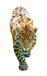 a-leopard-on-the-prowl-don-hammond
