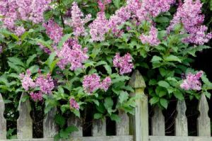 A lilac bush with many fragrant purple flowers next to a weathered fence.