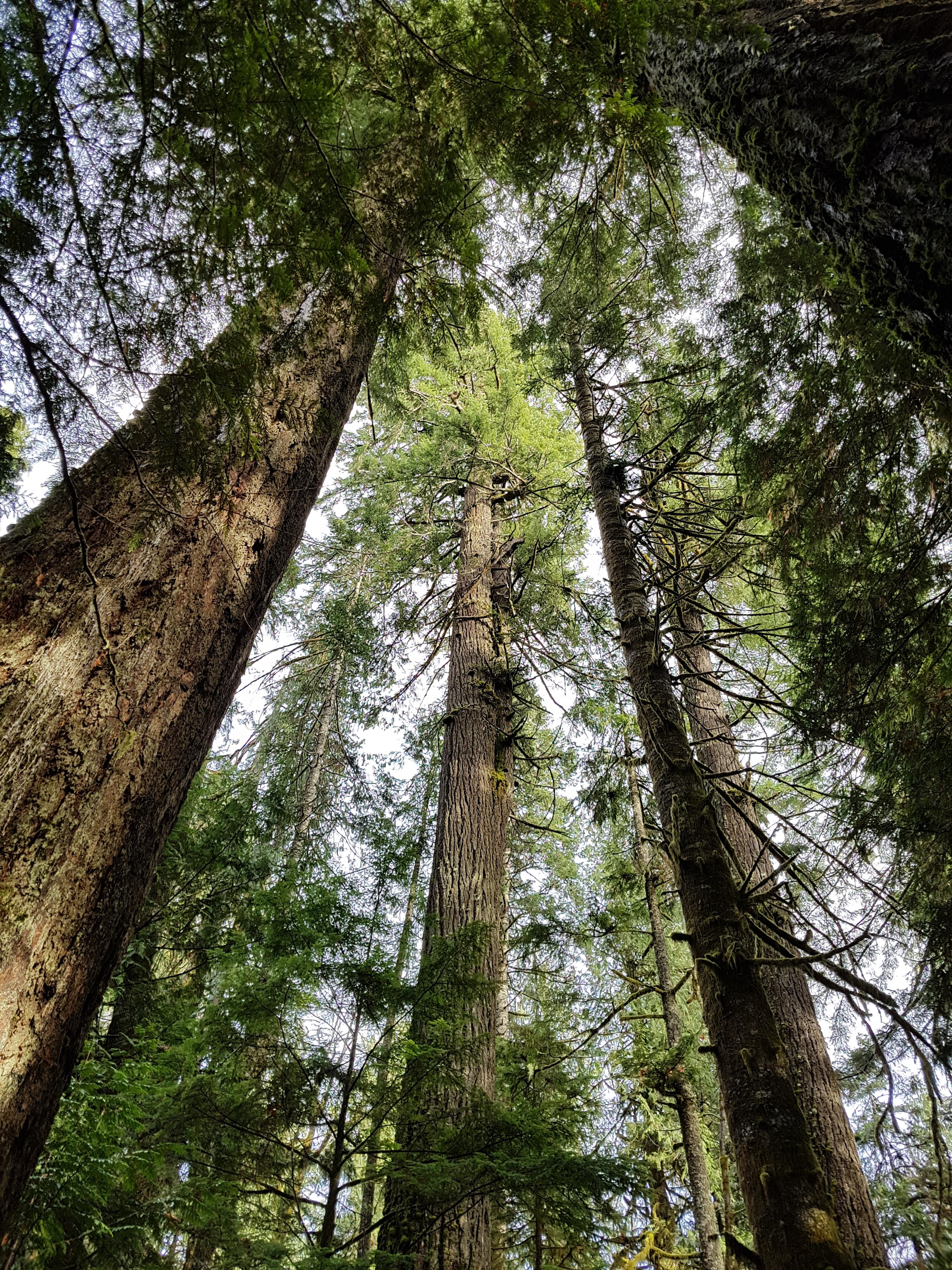 giant cedars
